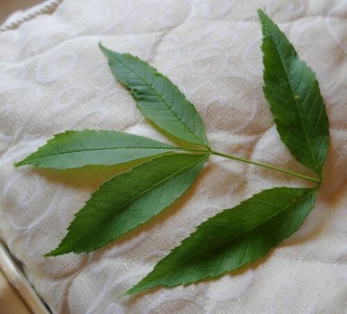 feuilles arbre