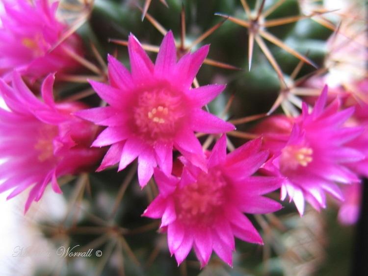 Mon cactus est un Mammilliaria