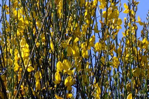 Les fleurs jaunes du genêt