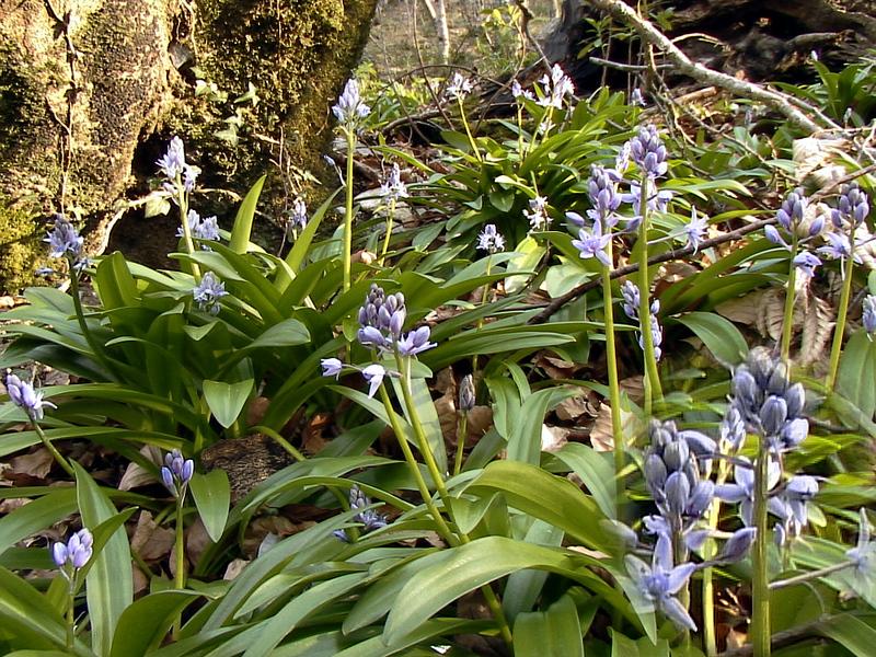 Jacinthe des Pyrénées (Scille lis-jacinthe) - Col des Ares - 31  (Flore)