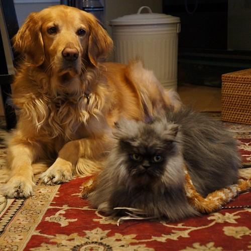 Nos Goldens et leurs copains chats page 2