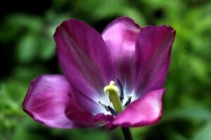 Tulipes Nightrider7