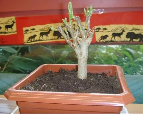 planter une graine de baobab