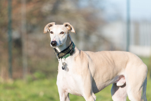 Moriarty, galgo invisible qui vous attend désespérement en France