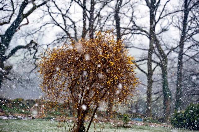 Forsythia sous la neige