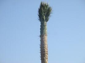 L'élégance du palmier