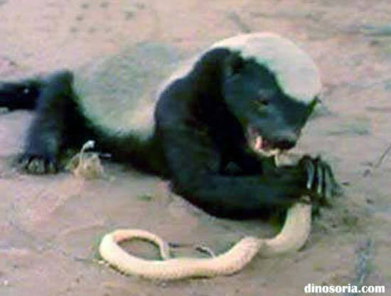 Ratel qui tue un serpent