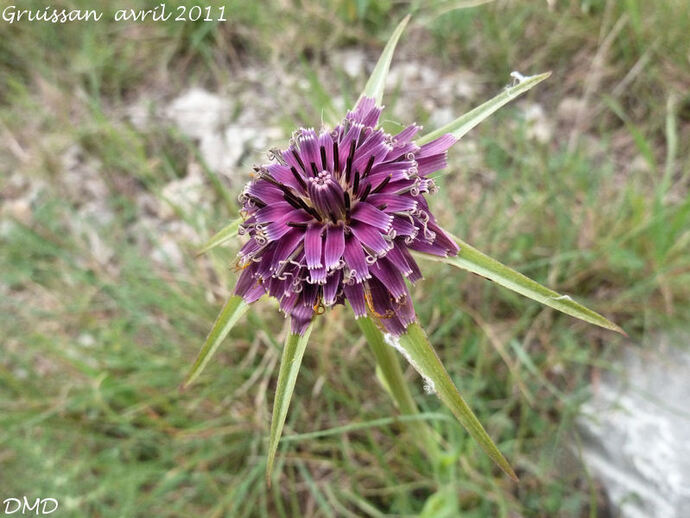 Tragopogon porrifolius  -  salsifis de Provence