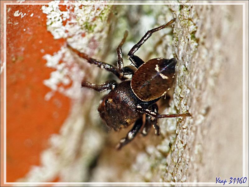 Araignée saltique Heliophanus aeneus mâle avec ses deux points blancs sur son abdomen - La Couarde-sur-Mer - Ile de Ré - 17