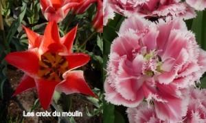 Tulipes (9)