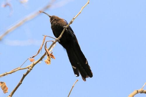 Irrisor namaquois (Common Scimitarbill)