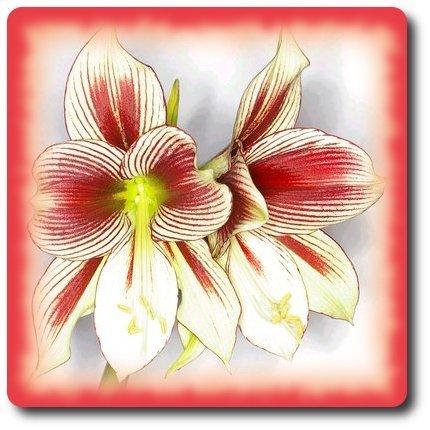 amaryllis-dessin.jpg