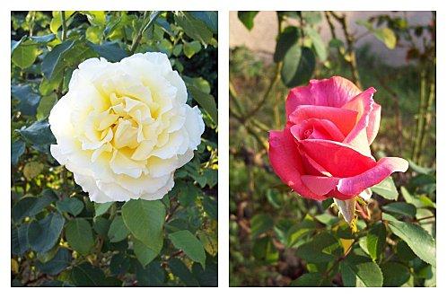 Roses jaune et rose