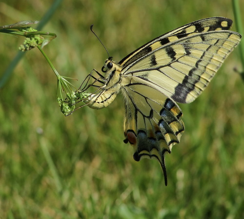 ponte de machaon