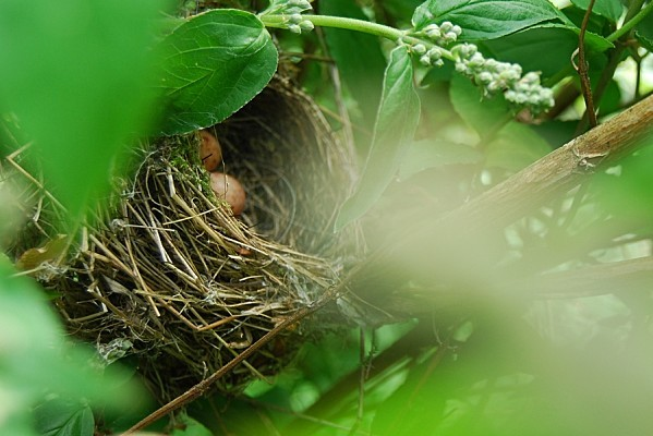 Oeufs dans le nid dans le deutzia