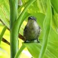 Femelle du colibri huppé - Photo : Yvon