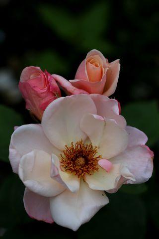 Les Roses de Warren : Arahan