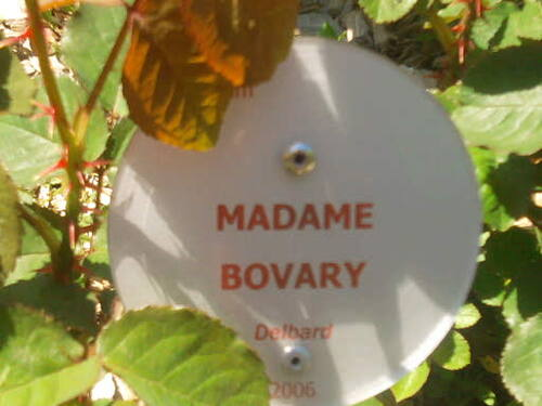 Rose Madame Bovary