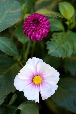 Dahlias : Arwen's violet