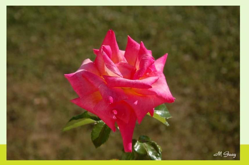 rose-8591.jpg