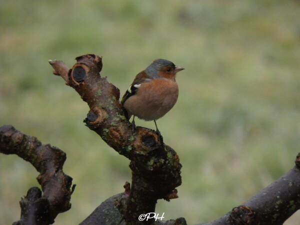 Pinson des arbres mâle