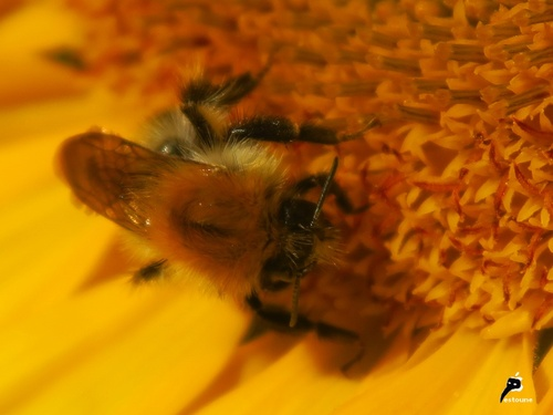 """Hyménoptères """"drogués"""" par le pollen"""