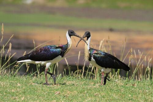Ibis d'Australie (Straw-necked Ibis) Vic Australie
