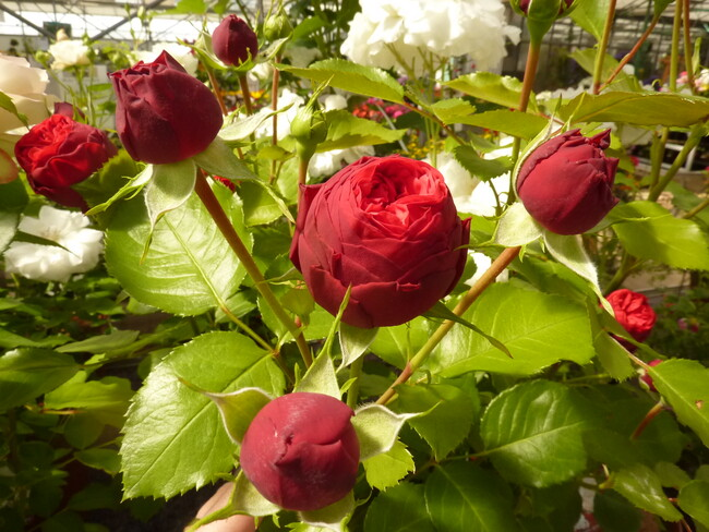 La rose du samedi n° 48
