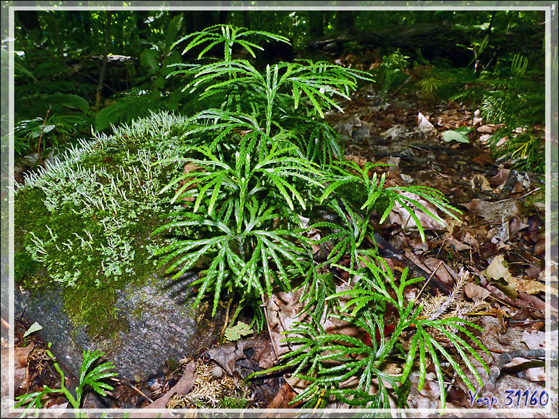 Lycopode en Éventail, Courants verts, Southern ground-cedar, Southern running-pine, Fan clubmoss, Crowfoot clubmoss (Lycopodium digitatum) - Petit Lac Preston - Duhamel - Outaouais - Québec - Canada