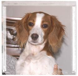EMY (ma chienne Epagneul Breton)