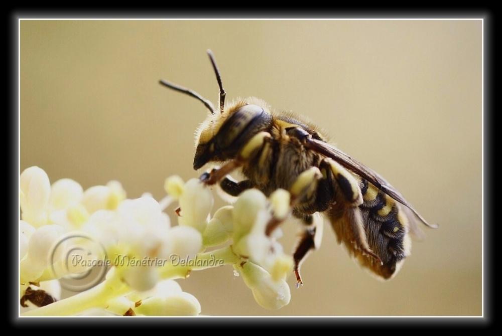 Anthidium femelle...