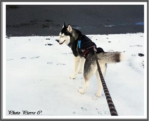Huskys des neiges II (8 février 2019)