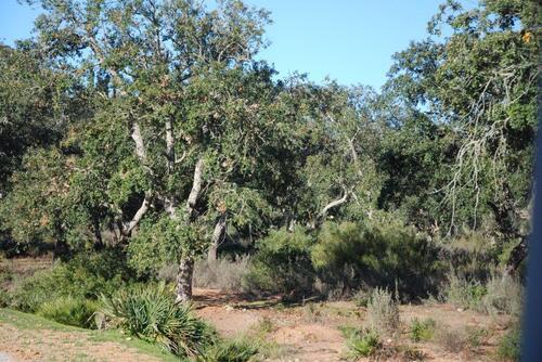 Des chênes lièges