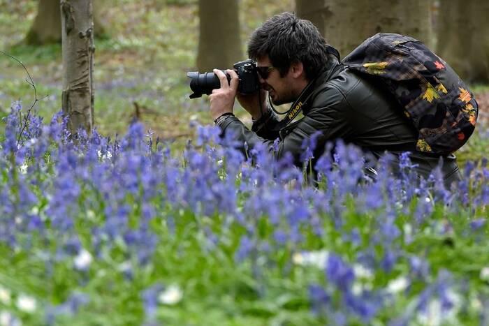 Spectaculaire Floraison De Jacinthes Sauvages Au Bois De Hal -  En Belgique -