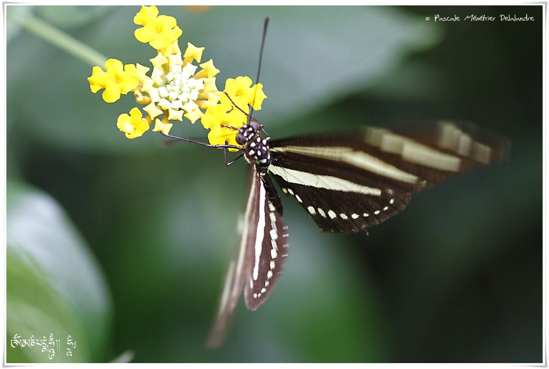 Héliconius charithonia - Héliconiidae - Costa Rica