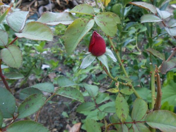 Ma dernière rose