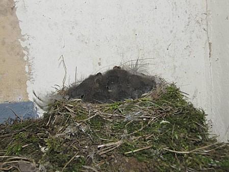 nid d'hirondelle (9)