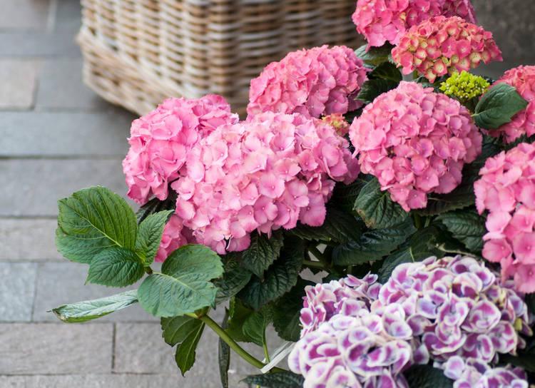 Hortensia en pot : plantation, exposition, arrosage et conseils d'entretien