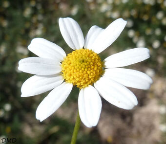Anthemis cotula - camomille puante