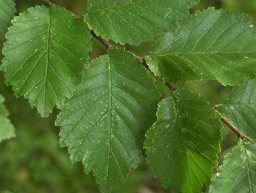 Vertus médicinales des arbres : Orme champêtre