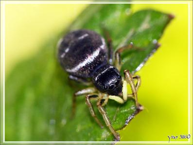 Araignée saltique cuivrée (Heliophanus cupreus) - Lartigau - Milhas - 31