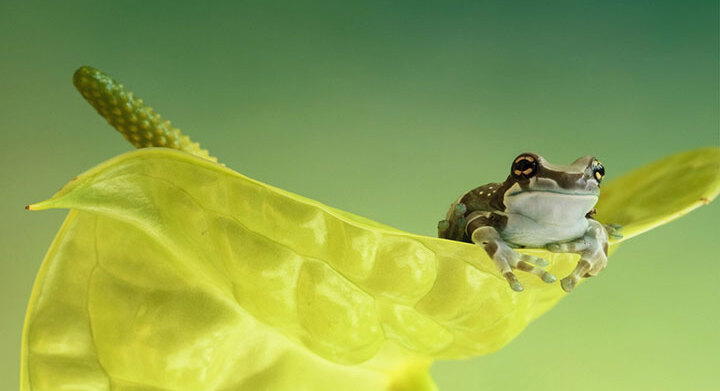 grenouille-animal-photo-macro17