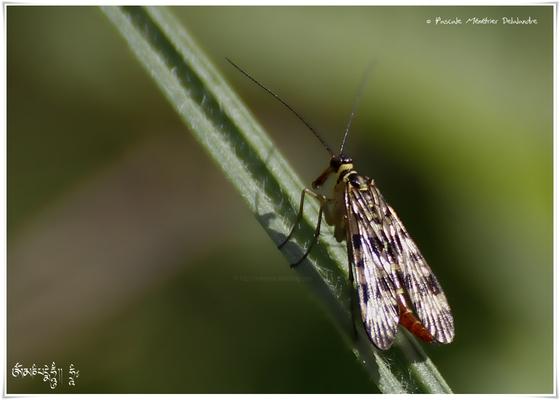 Panorpes ou mouche scorpion - Panorpa cognata  ♀