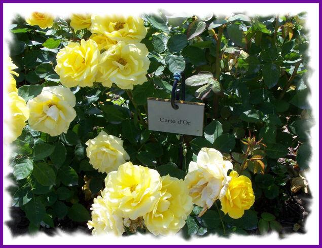 La rose jaune ...