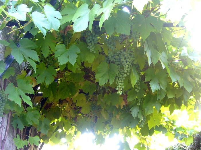 2011- Vigne et raisin