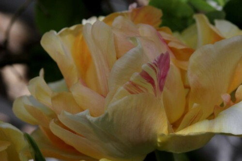 Tulipes Charming Lady6