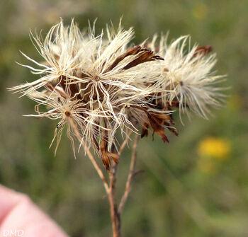Aster linosyris - Galatella linosyris -  aster linosyris