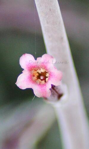 Adromischus Cooperi - La fleur