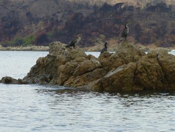 En rasant leur rocher, nous avons dérangé cette nichée de jeunes cormorans
