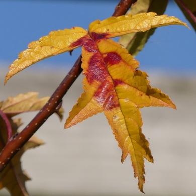 Le bel automne du malus Transitoria...